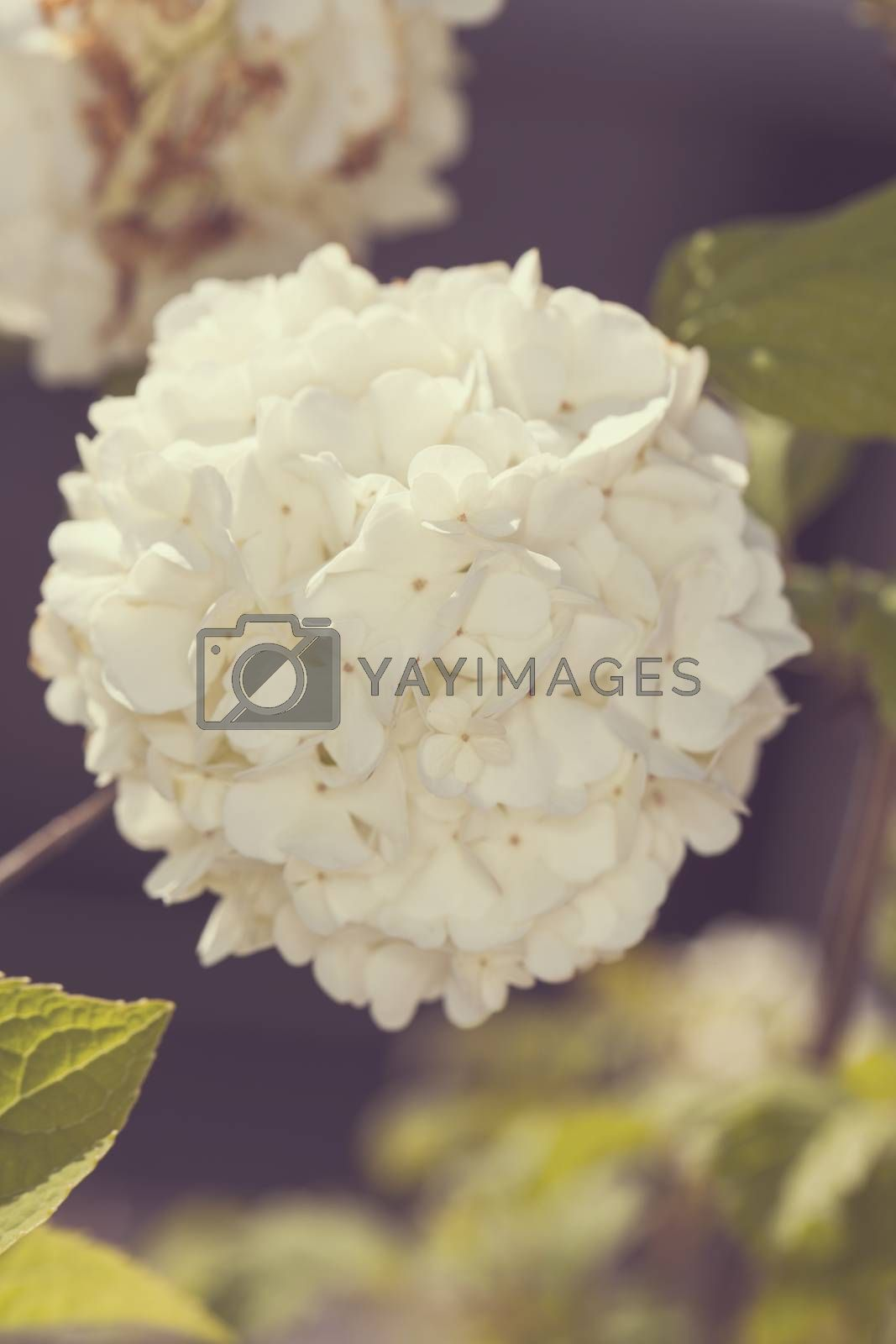beautiful white flower by maselkoo99