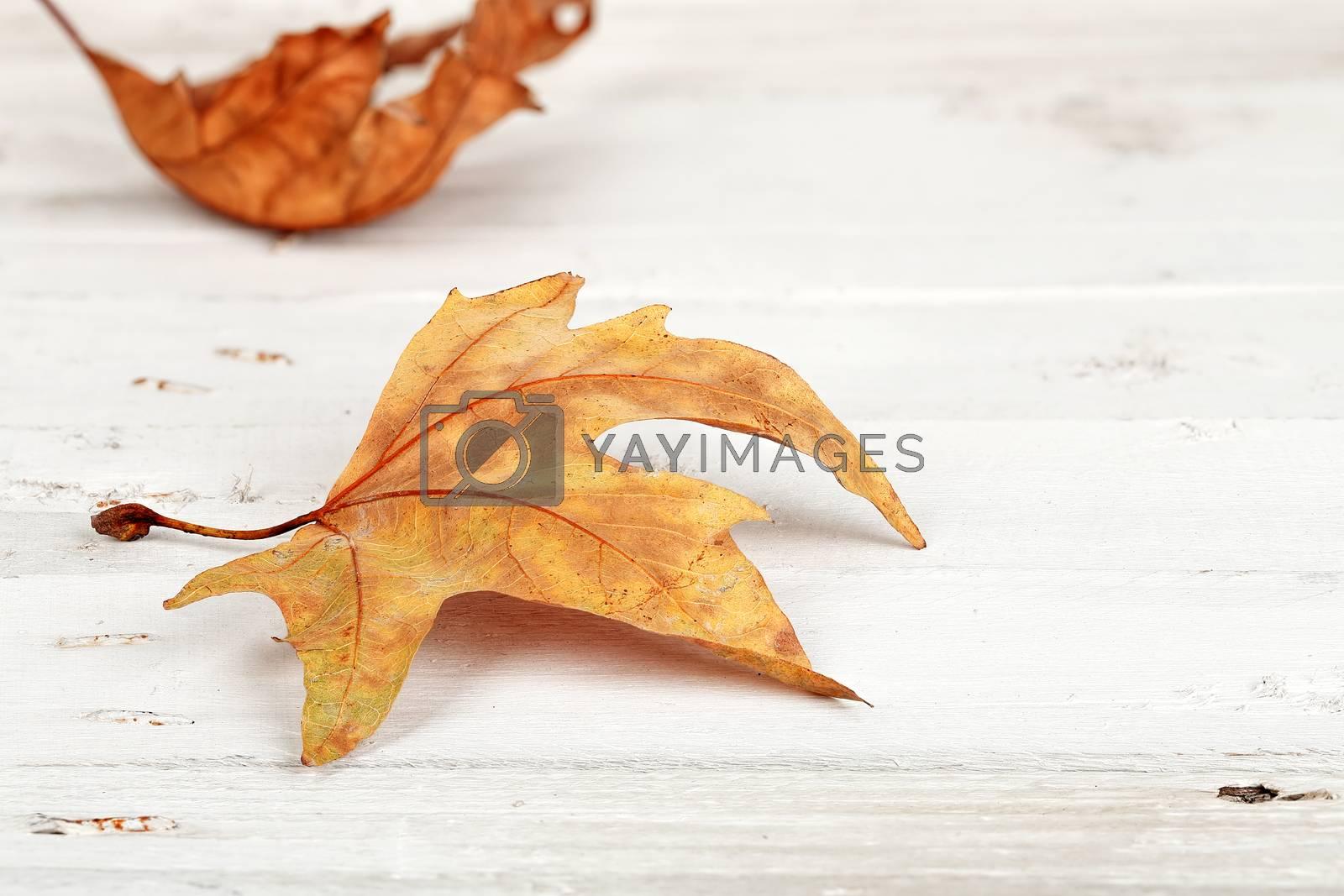 closeup of autumn leaf on white wooden planks