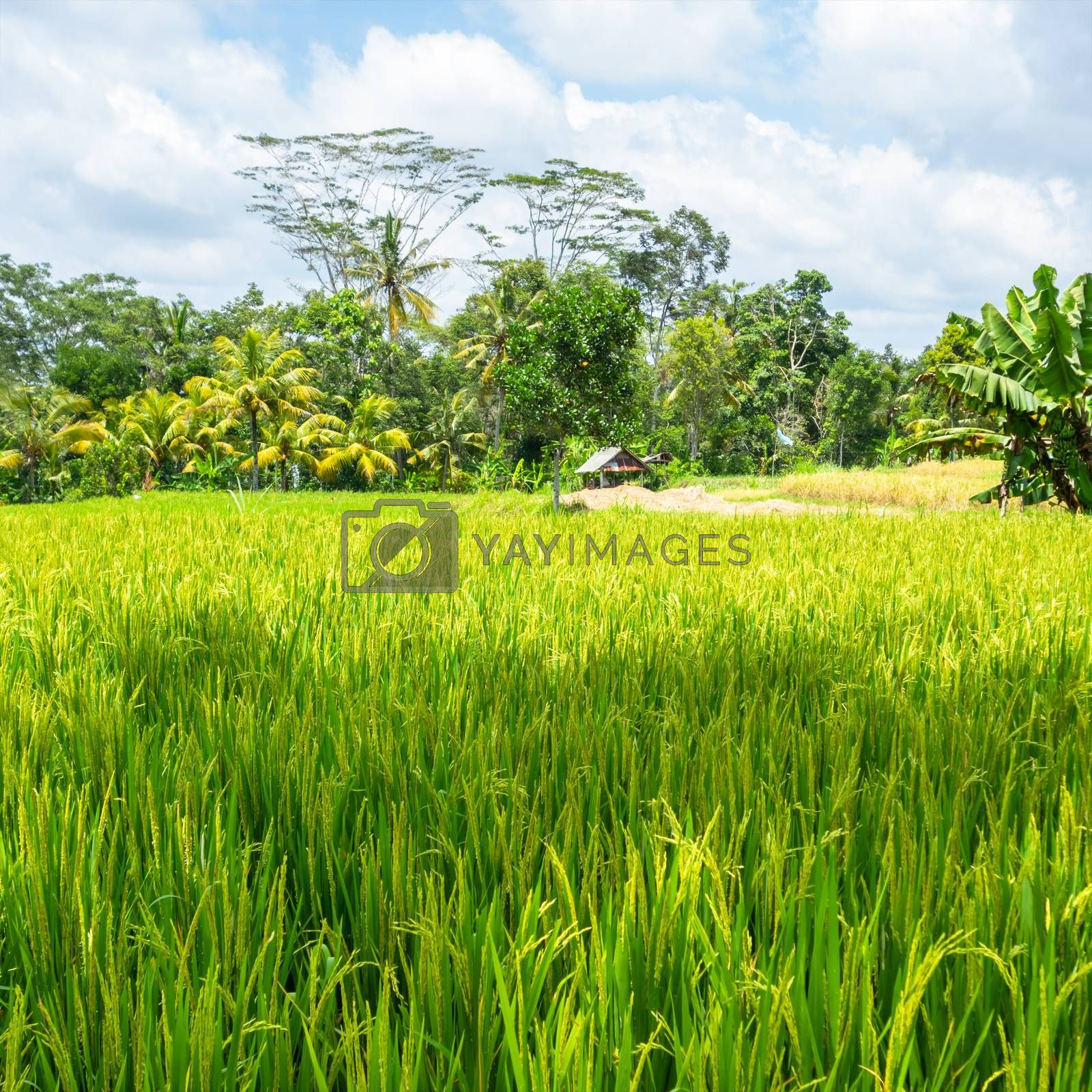 hut in a rice field in Bali Indonesia by magann