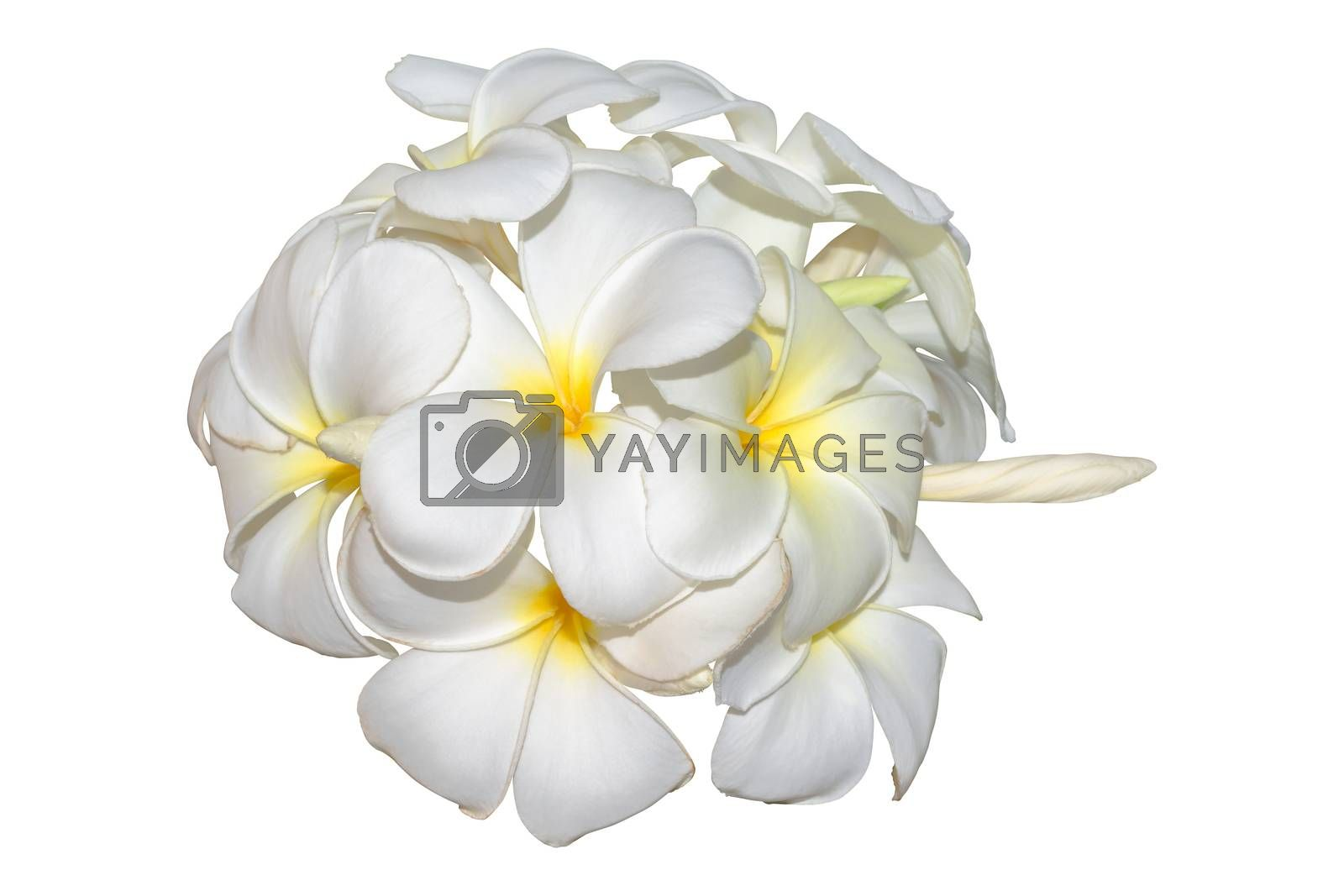 Frangipani, plumeria tropical flowers isolated on white. Clippin by Kumma