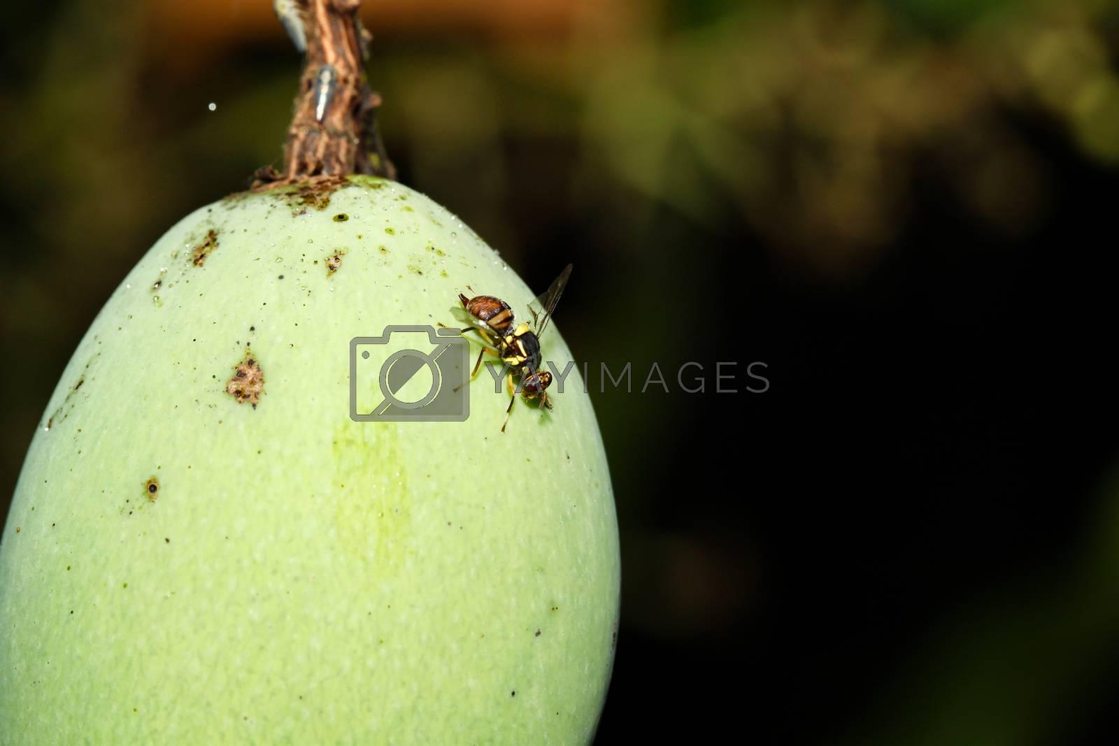 Close up yellow flower fly on mango