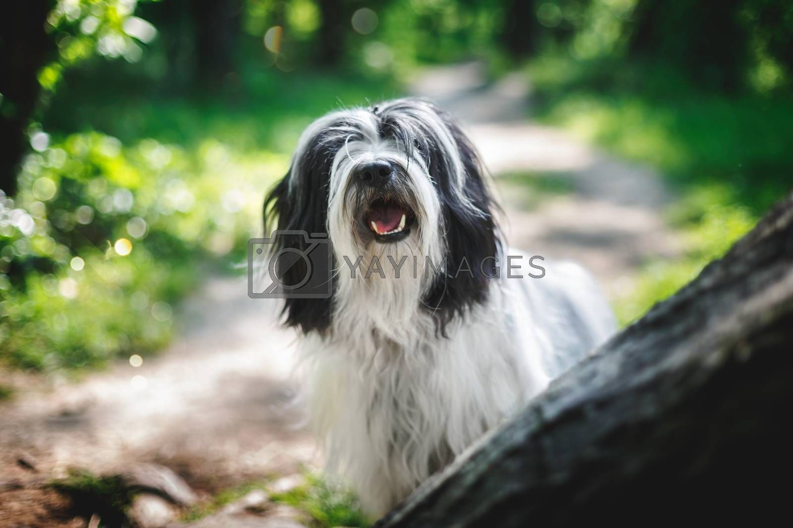 Tibetan terrier dog with a curious look and open mouth sitting on road between  trees in forest, selective focus