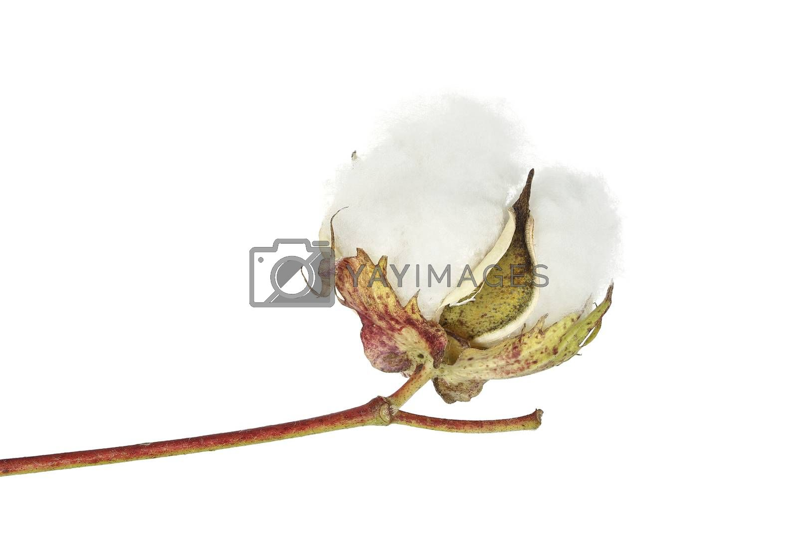 open cotton boll isolated on white