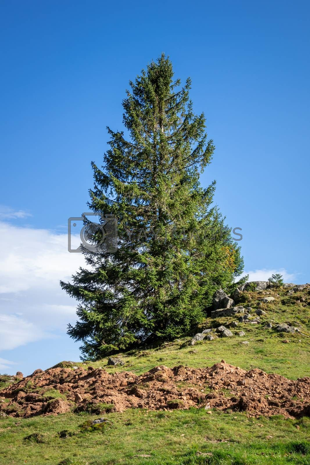 An image of a lonely fir tree in the mountains