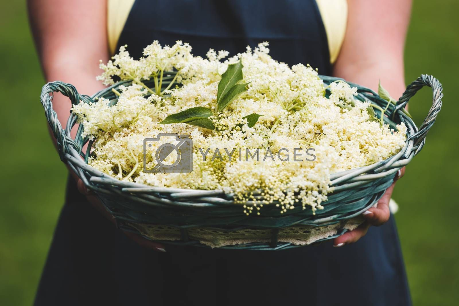 Woman Holding Basket Full Of Just Picked Elderflower, selective focus