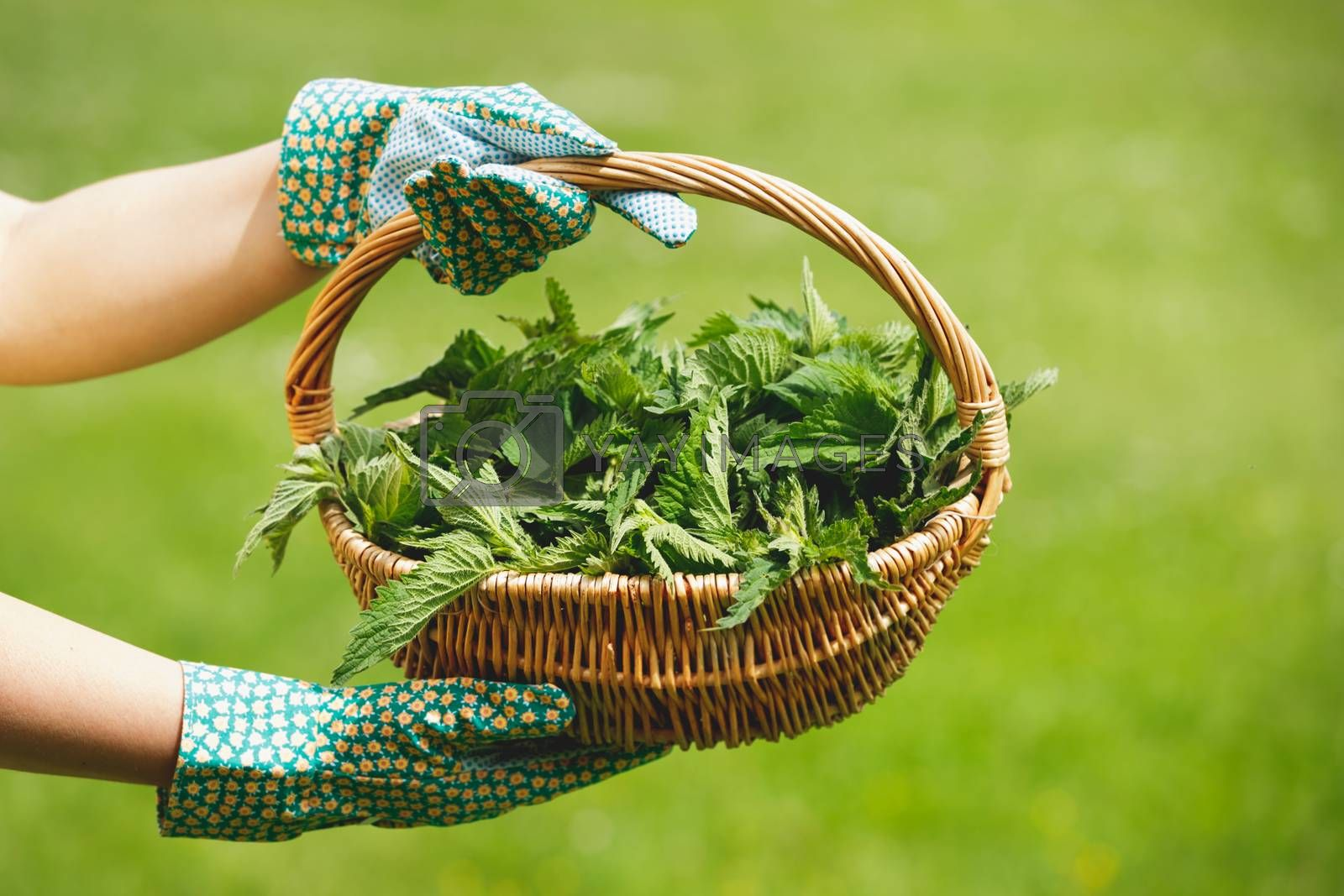 Freshly Picked Nettle. Woman holding a basket of fresh stinging nettles with garden gloves, selective focus