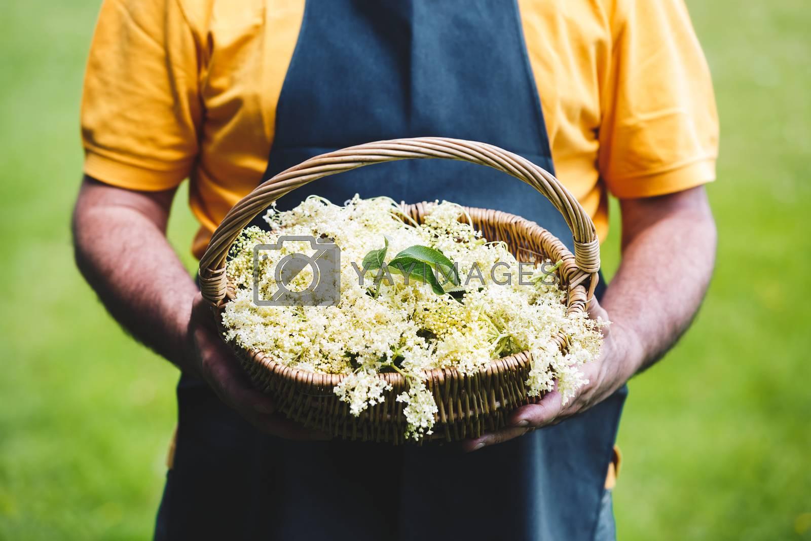 Man  Holding Basket Full Of Just Picked Elderflower, selective focus