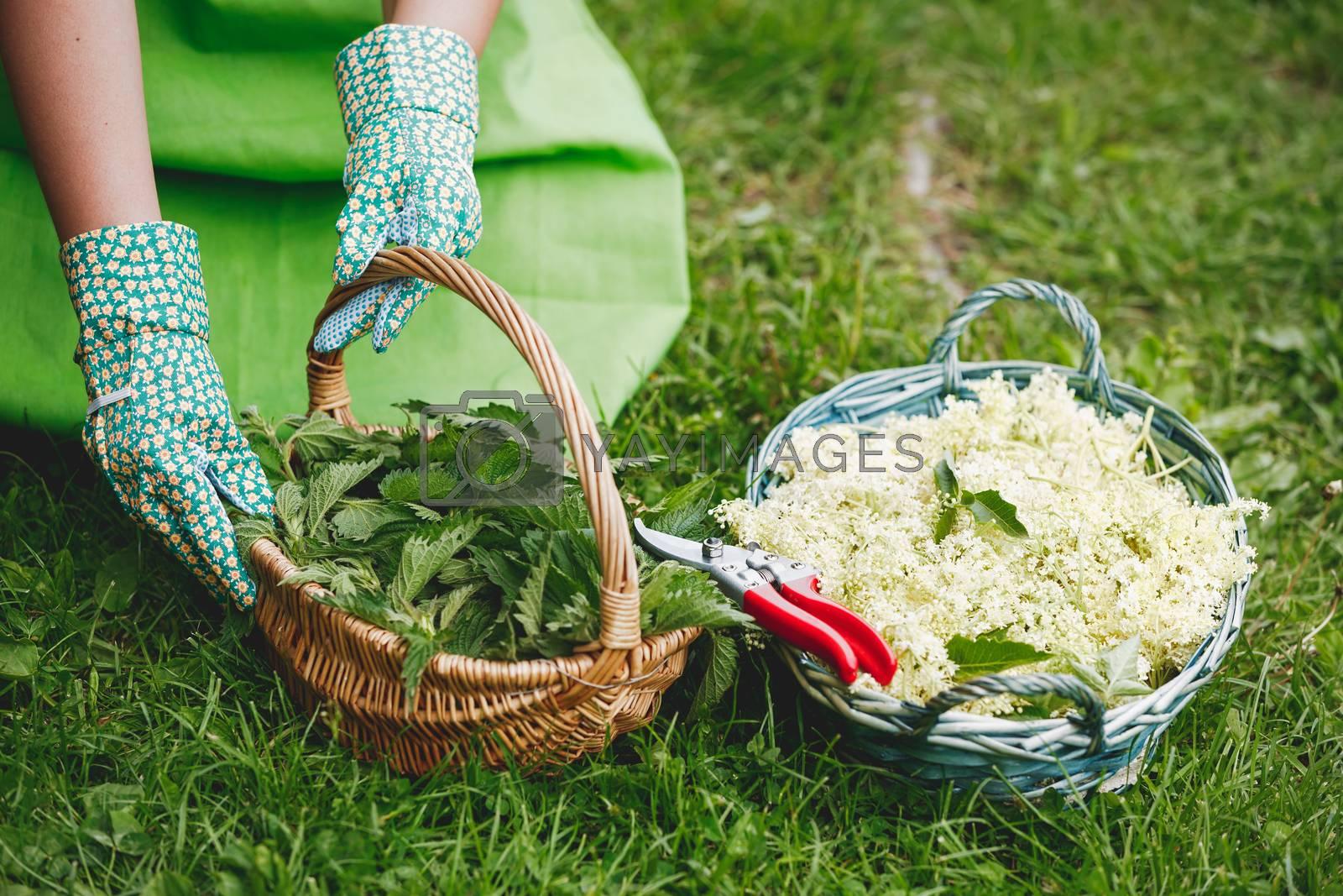 Woman picking nettles and elderflower in a basket, selective focus