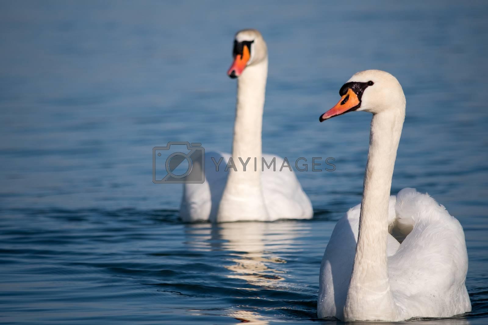 White swans swimming in the Danube river in Serbia by stargazer84