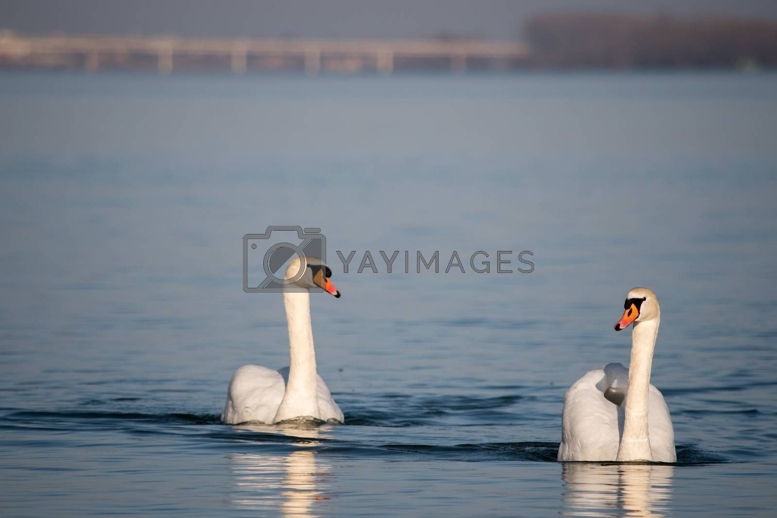White swans swimming in the Danube river in Serbia by stargazer84