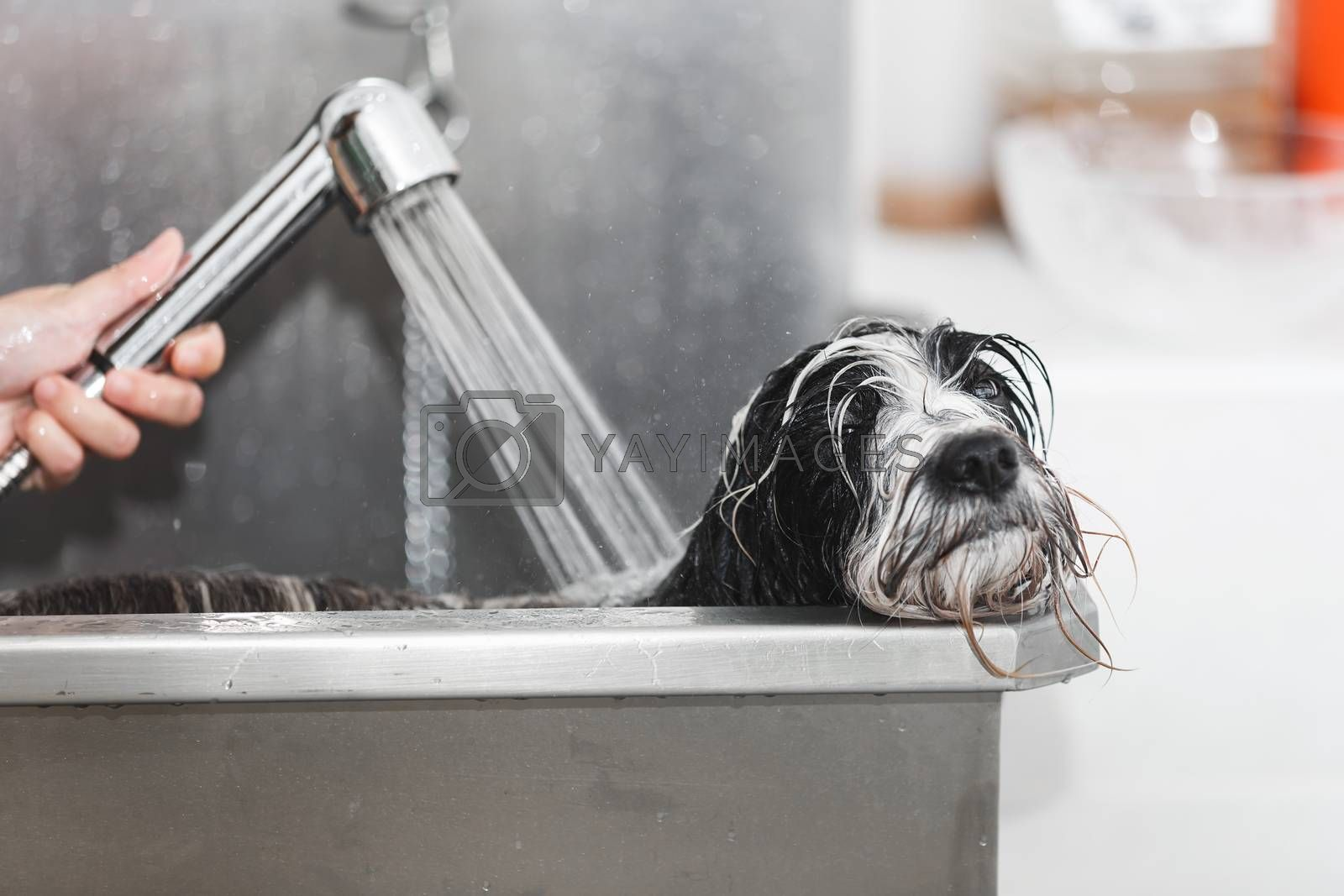 Tibetan terrier dog gets a bath at the groomer in stainless steel bathtub, selective focus