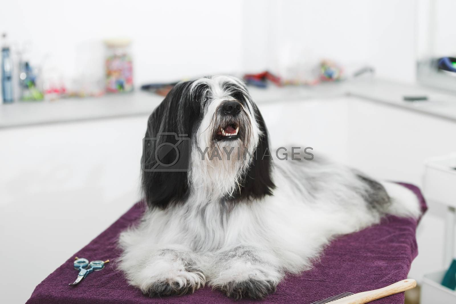 Beautiful long haired Tibetan terrier dog laying on a towel after a bath  procedure in grooming salon, selective focus