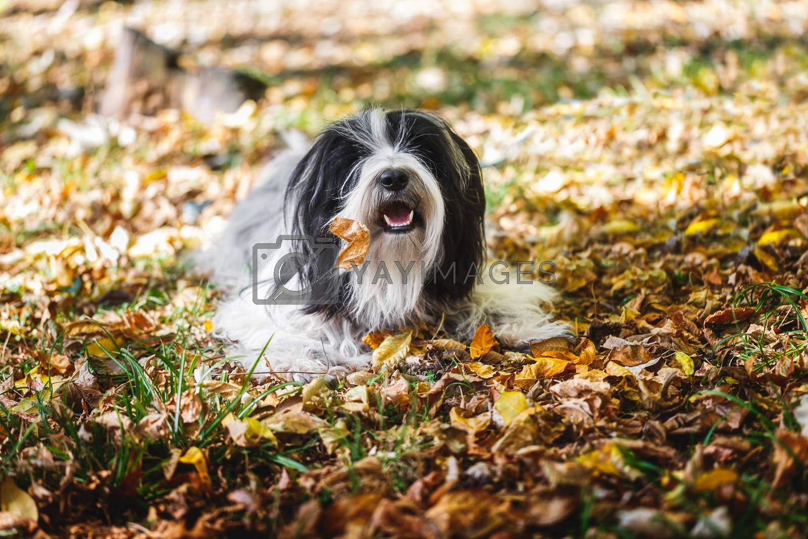 Tibetan terrier dog playing in a bed of leaves and  looking at the camera.Autumn season.  Selective focus, copy space