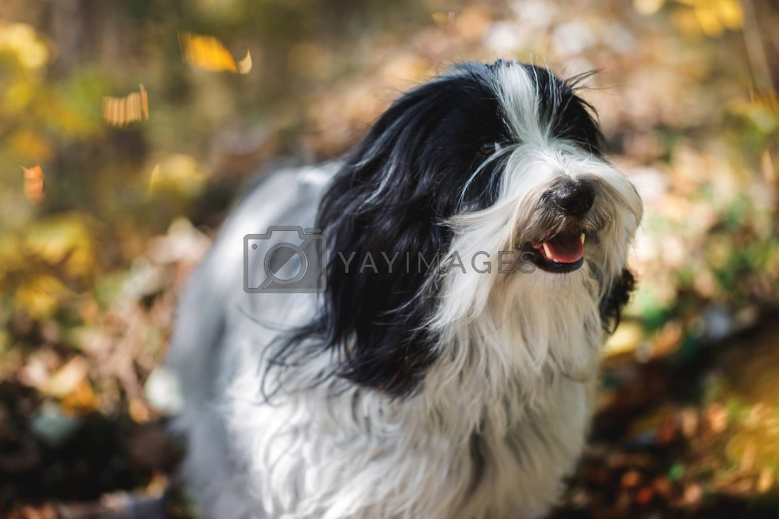 Smiling Dog. Tibetan terrier dog standing  in the forest with a bunch of fallen leaves surrounding him. Selective focus, copy space