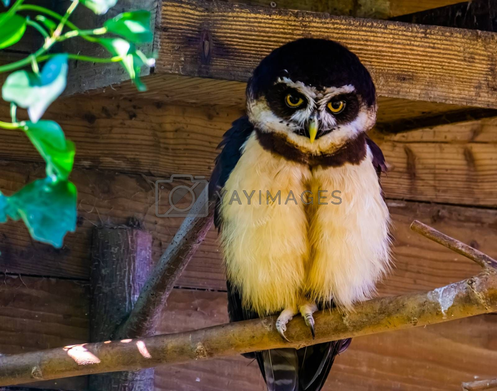 brown wood owl in closeup, tropical bird specie form Asia
