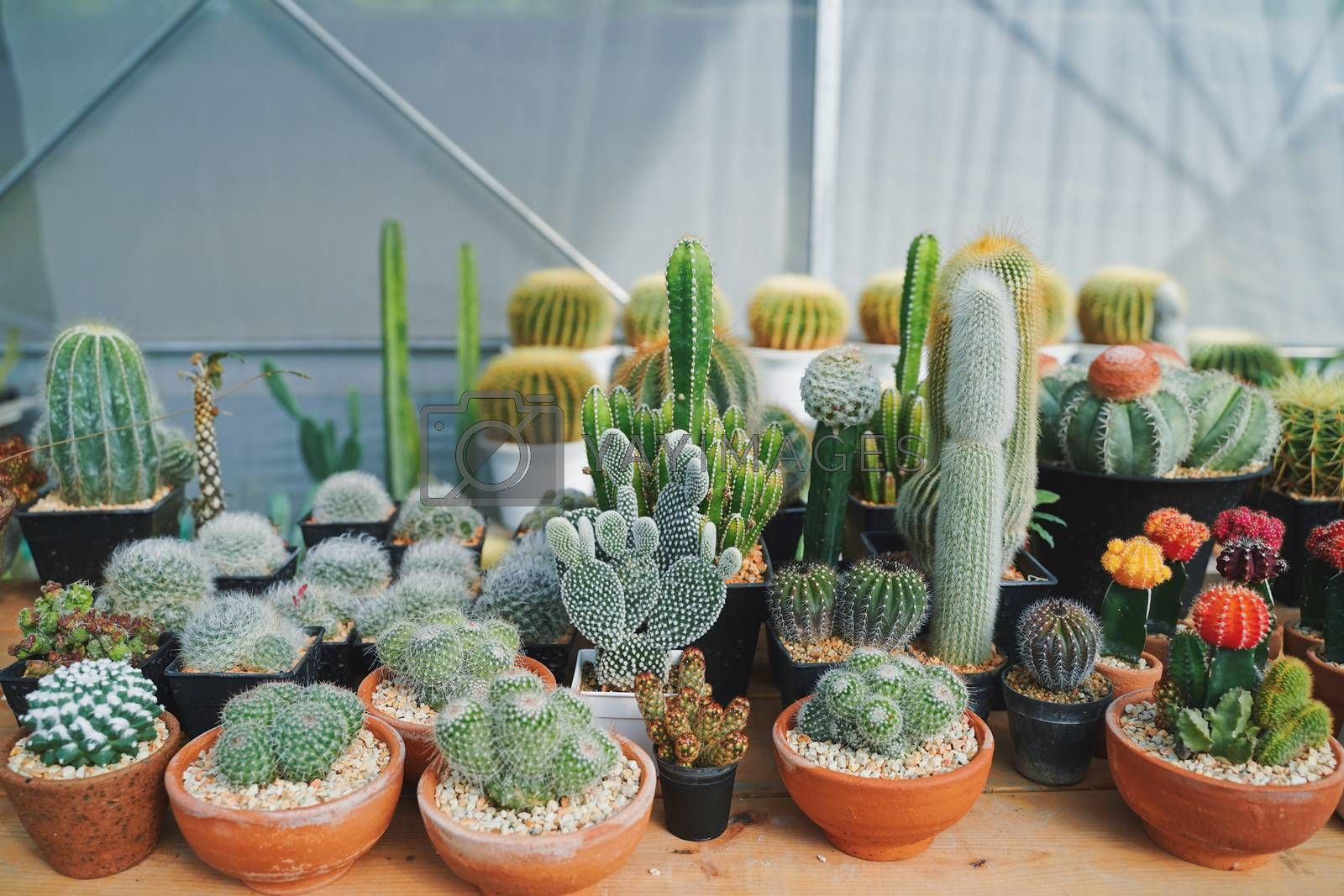 Many of various cactus plants on the pot at agriculture greenhouse garden