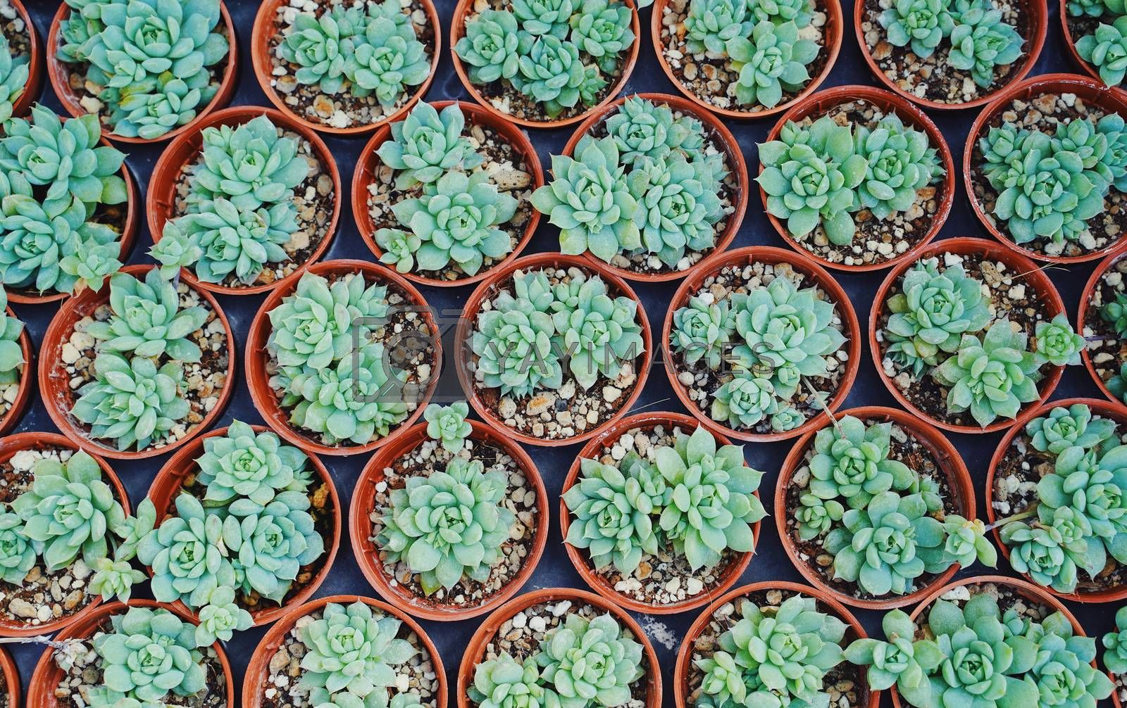 Top view of small cactus plant preparing for sale in the market