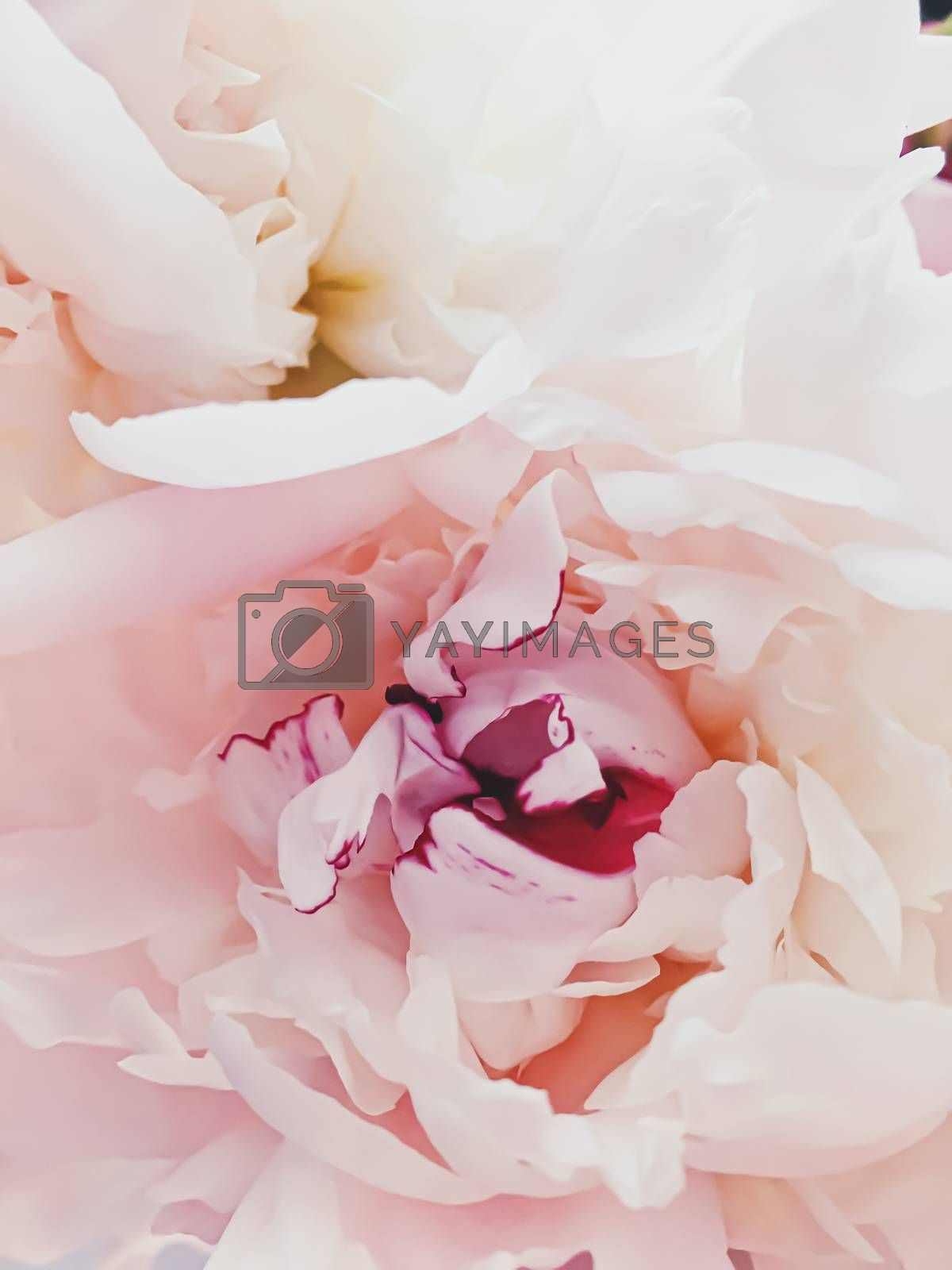 Pink peony flower as abstract floral background for holiday branding design