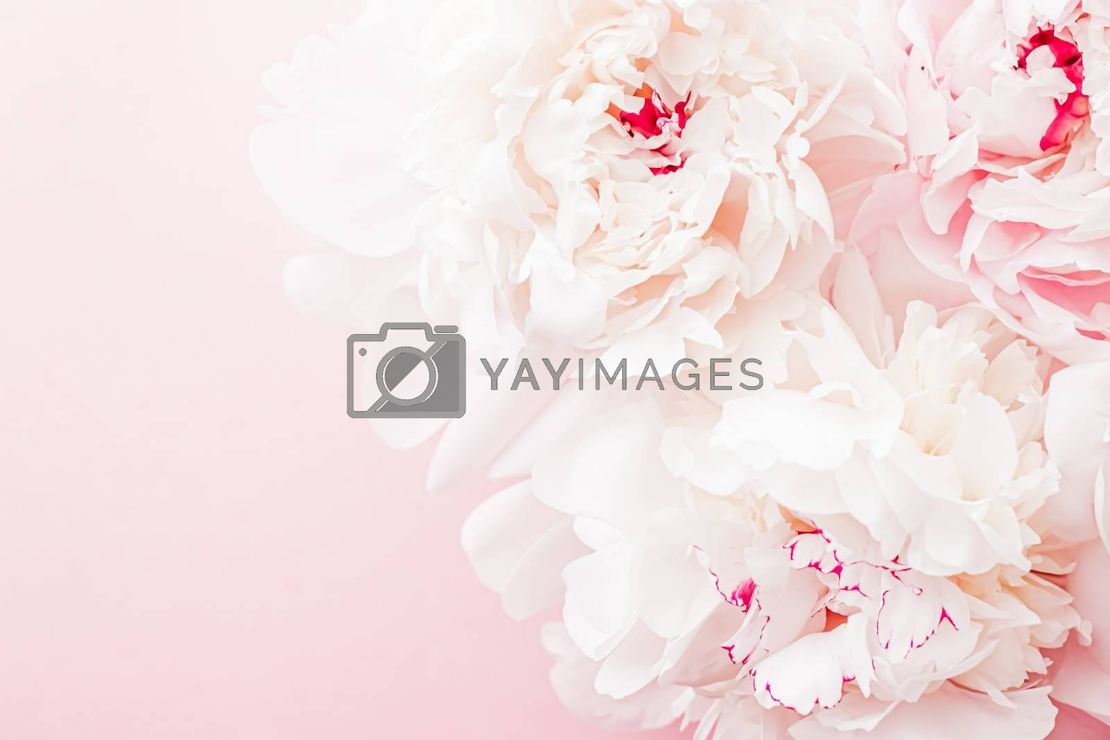 Peony flowers in bloom as floral art on pink background, wedding flatlay and luxury branding design