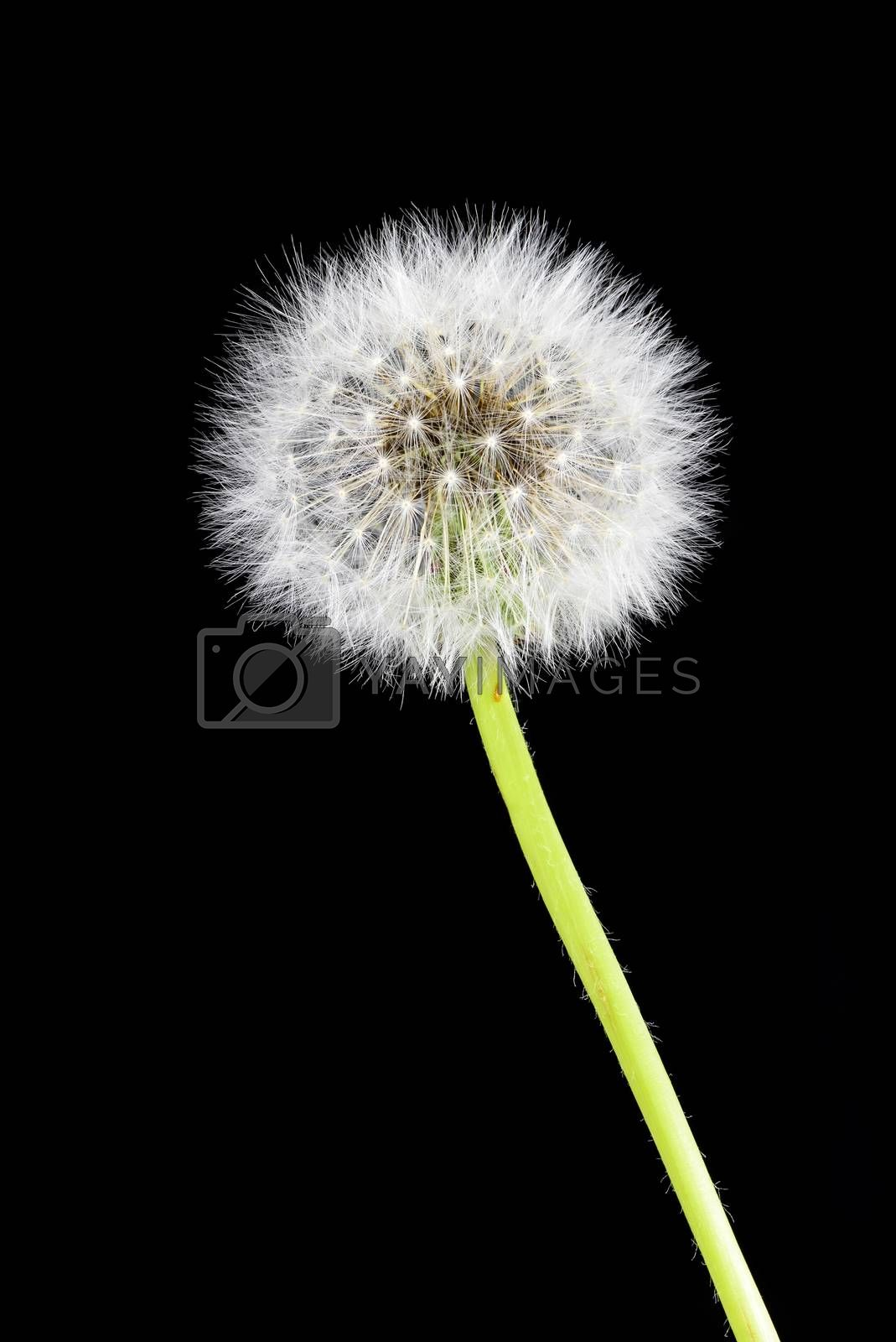 Seed head of dandelion flower on black background