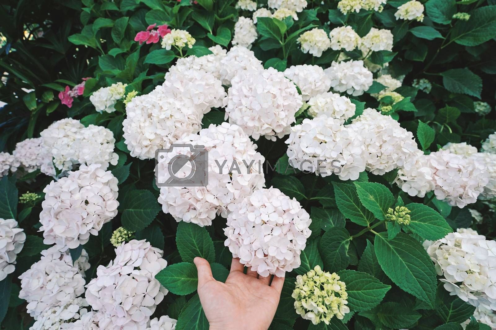 Hand holding beautiful hydrangea bloom in the garden