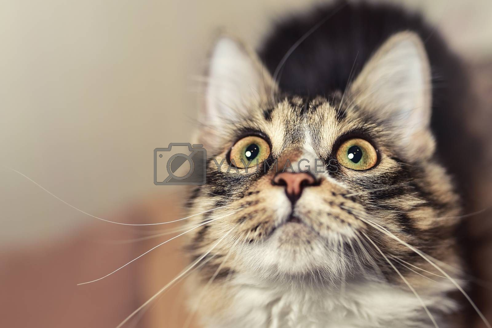 Wow emotion concept Portrait of a beautiful siberian Cat, wich looks up closely. Cat is looking forward to eating. Cat prepares for the game. cat saw something unusual.