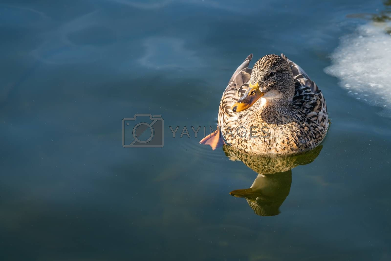 Mallard duck swimming in a cold water by pawopa3336