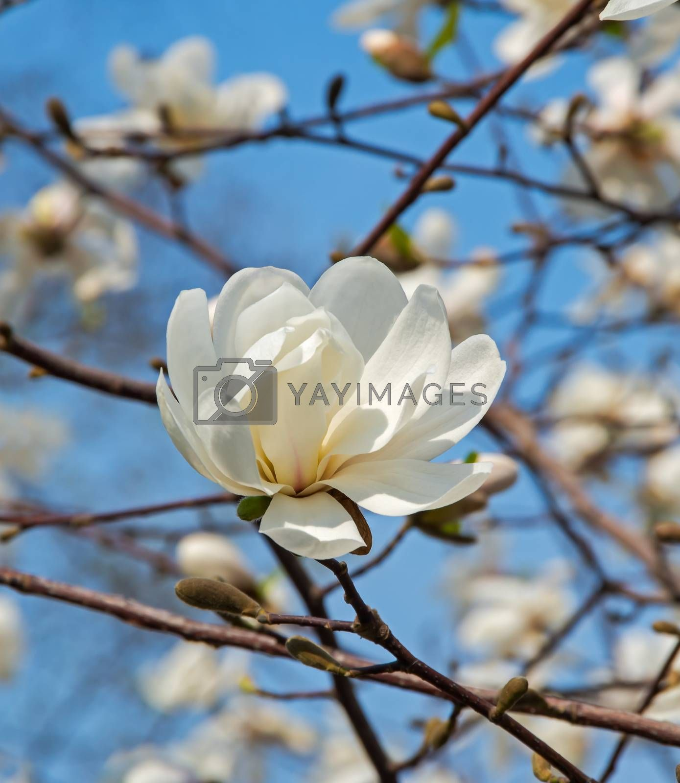 Flowering white magnolia in early spring in city park