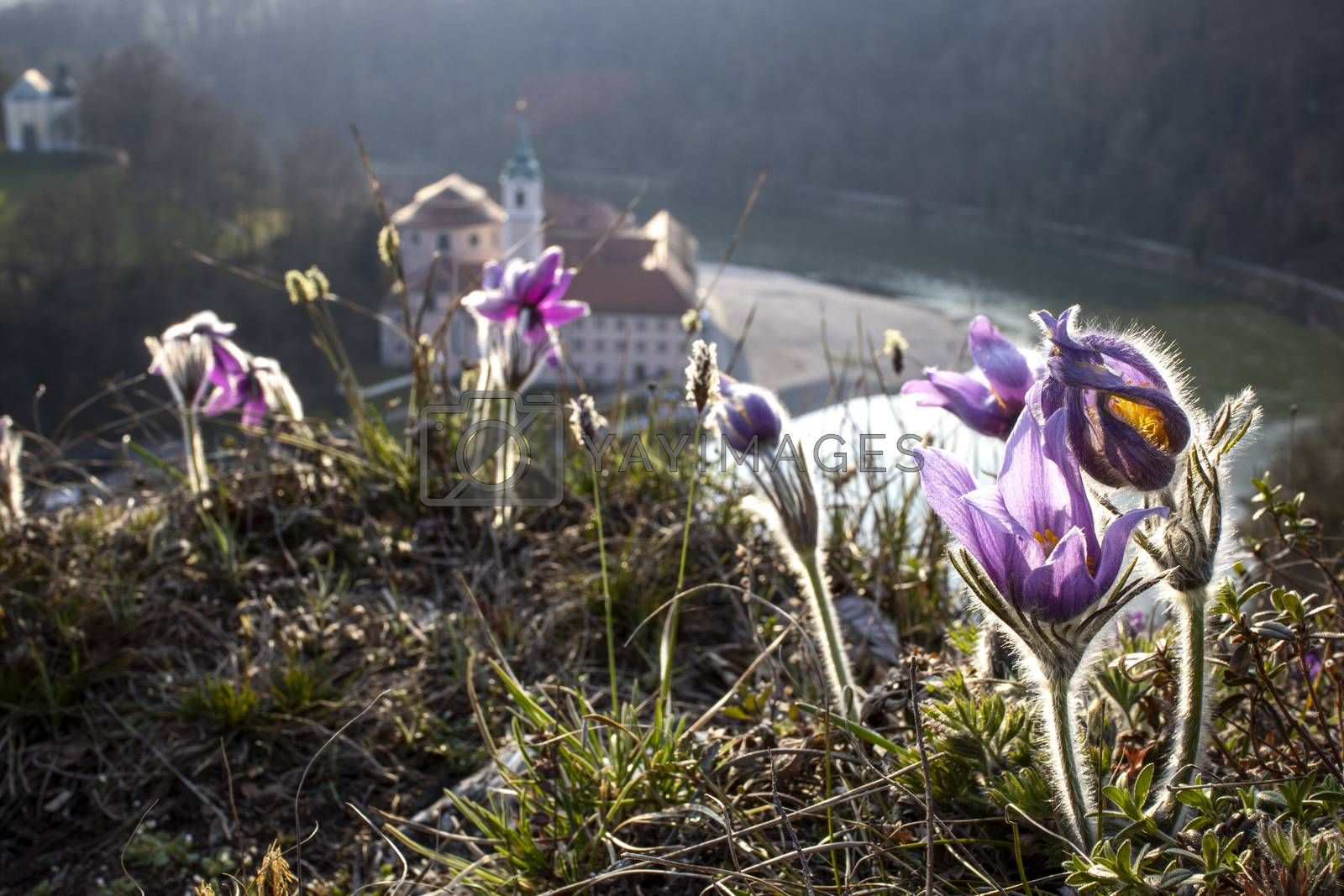 pasque flowers outdoor in spring by bernjuer