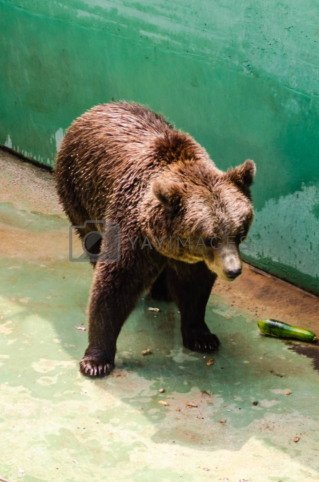 Brown bear waiting for food at the zoo