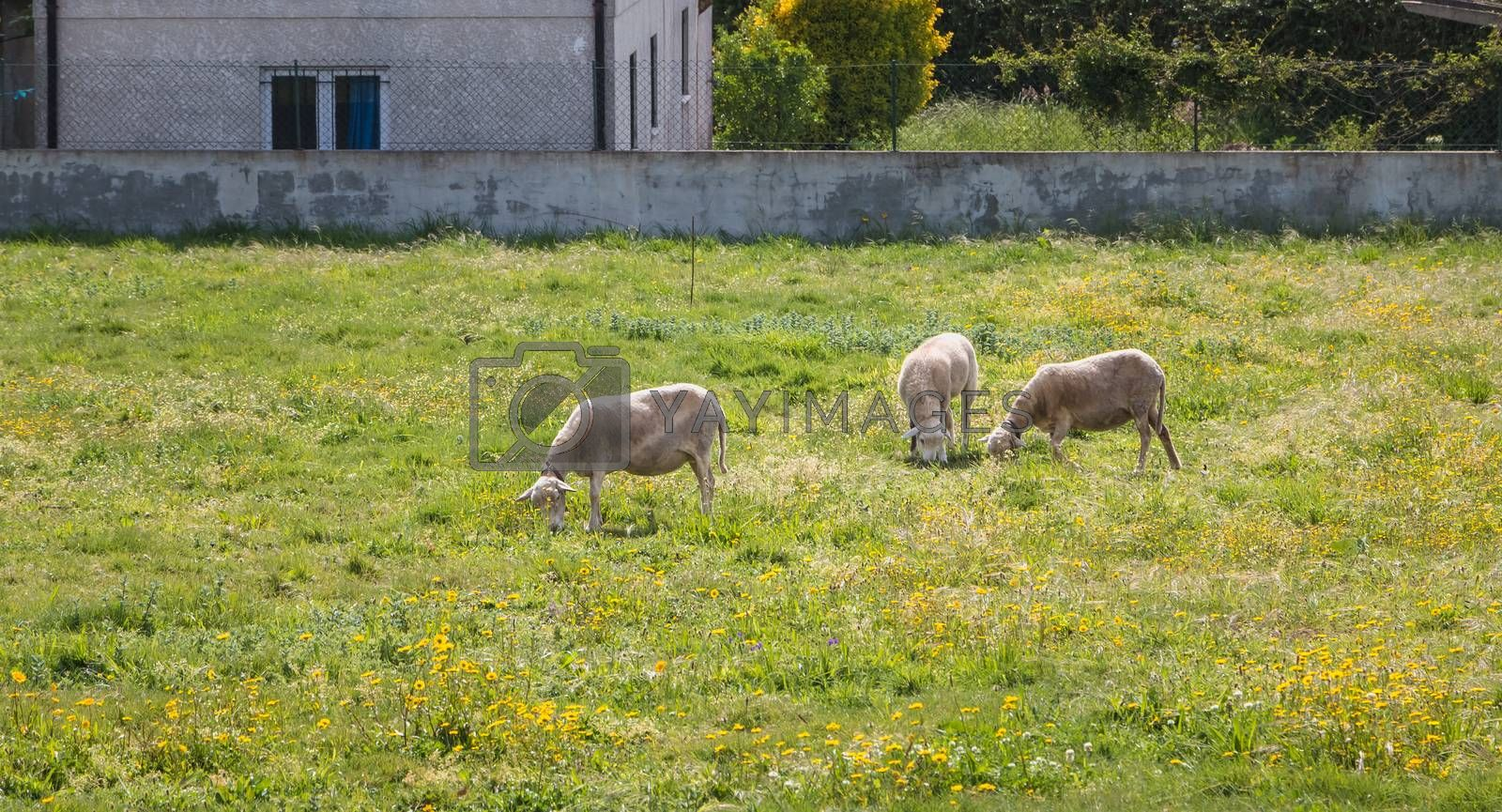 flock of sheep in a grassland in the countryside of northern portugal