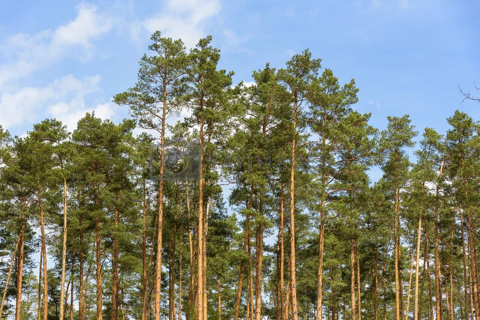 Natural forest background made of tall pine trees