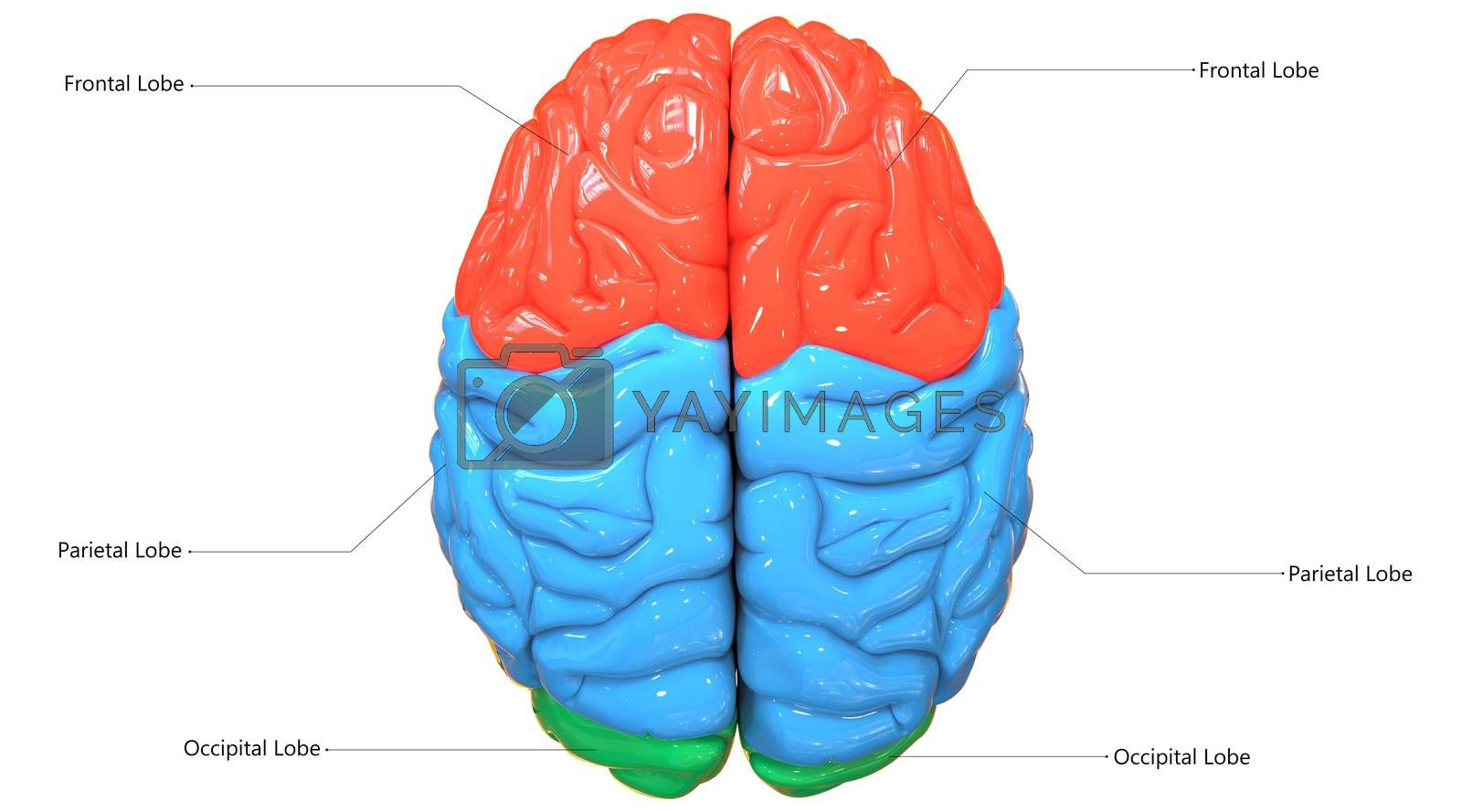 3D Illustration Concept of Central Organ of Human Nervous System Brain Lobes Described with Labels Anatomy Superior View