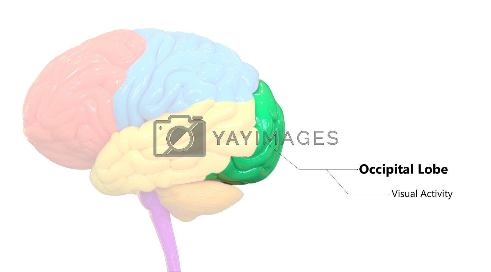 3D Illustration Concept of Central Organ of Human Nervous System Brain Lobes Occipital Lobe Described with Labels Anatomy