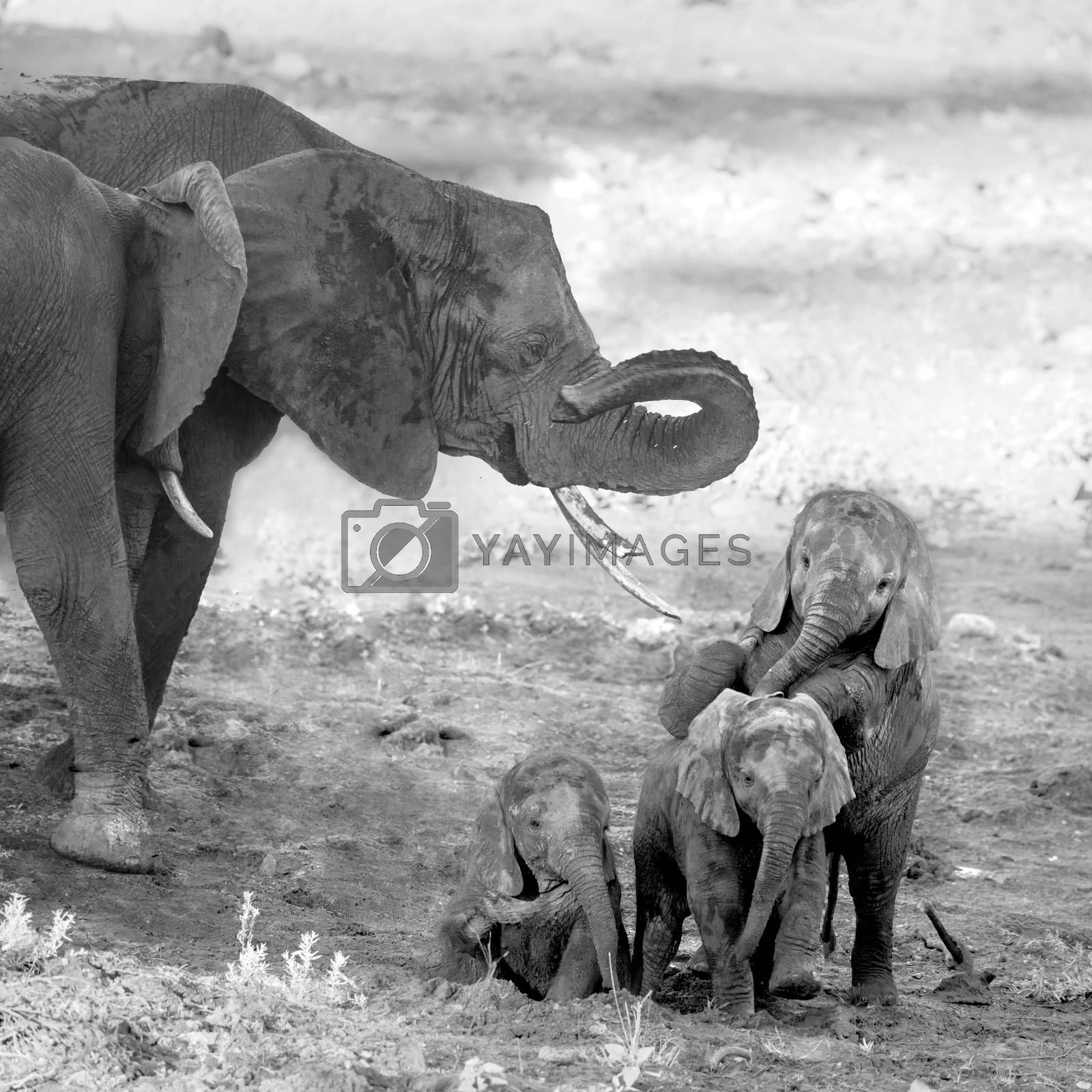 Three cute calf African bush elephants playing in Kruger National park, South Africa ; Specie Loxodonta africana family of Elephantidae