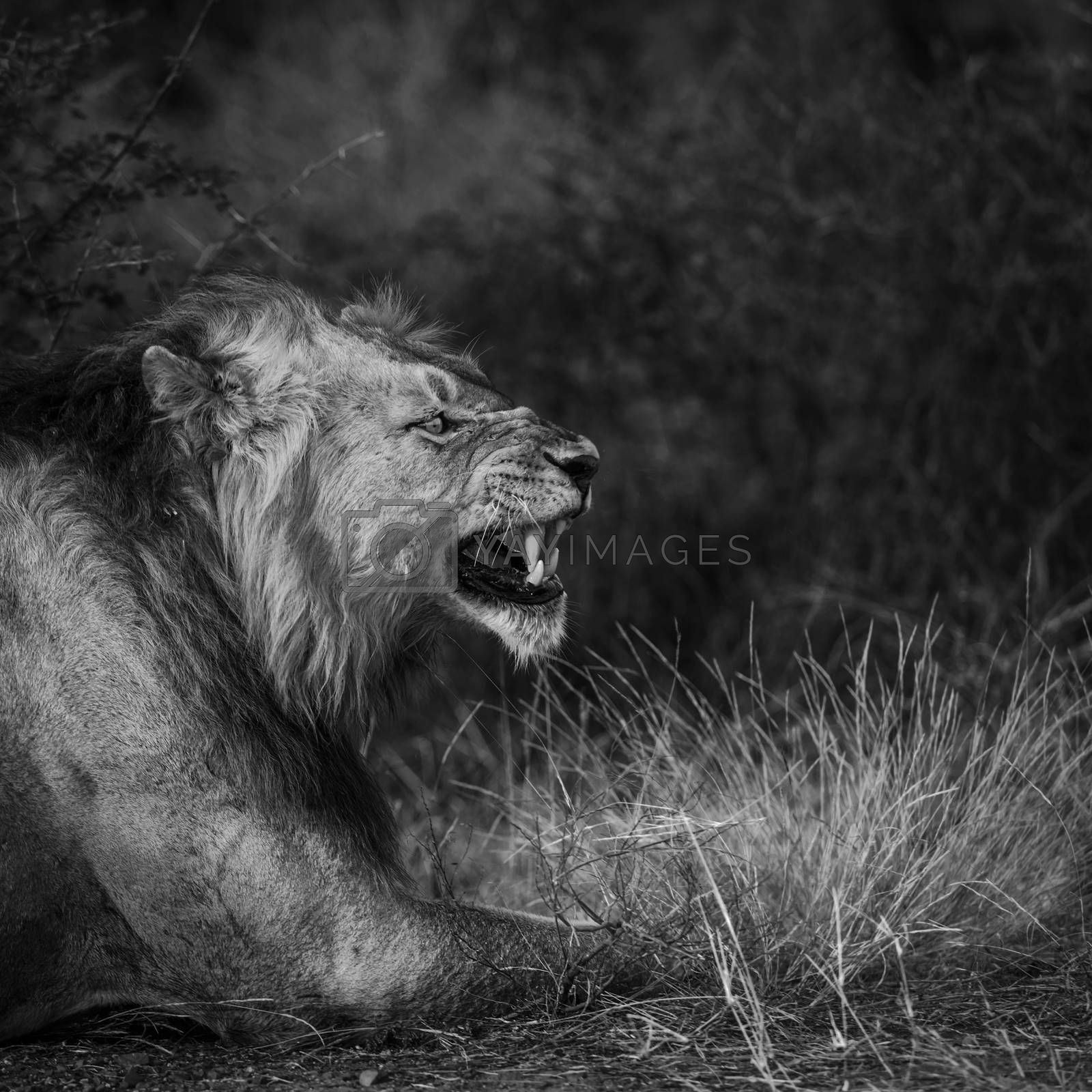 African lion male portrait yawning in Kruger National park, South Africa ; Specie Panthera leo family of Felidae