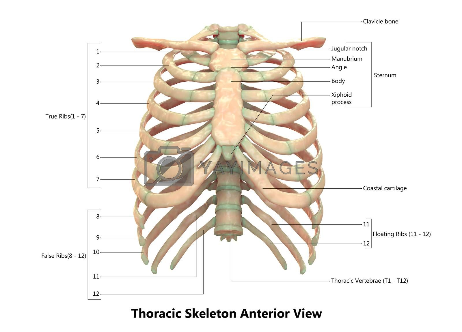 3D Illustration Concept of Human Skeleton System Hand Thoracic Skeleton Described with Labels Anatomy Anterior View