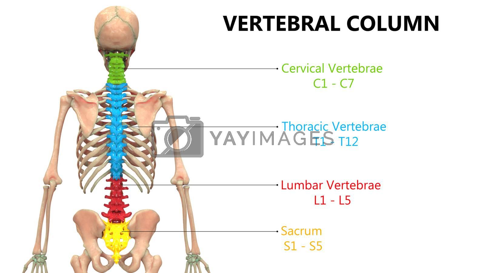 3D Illustration Concept of Vertebral Column of Human Skeleton System Described with Labels Anatomy Posterior View