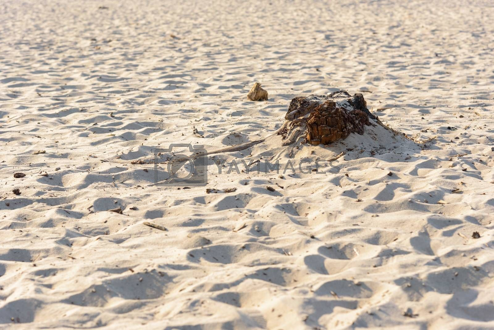 Tree remains in the sand of Bledow Desert as natural background