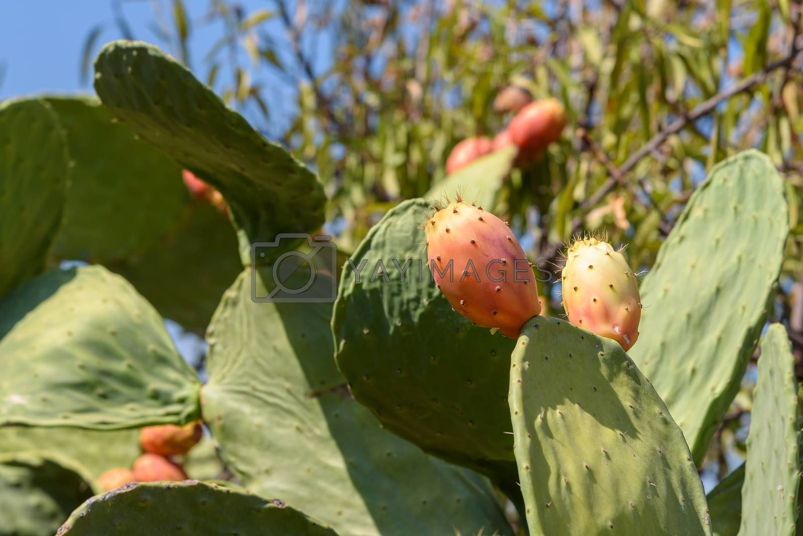 Prickly pear on a cactus plant ripening in the sun