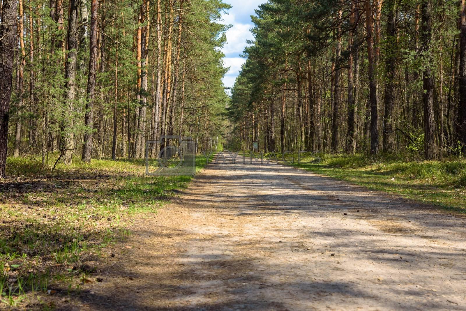 Forest road in Zabnik river valley reserve in Jaworzno in Poland at spring sunny day