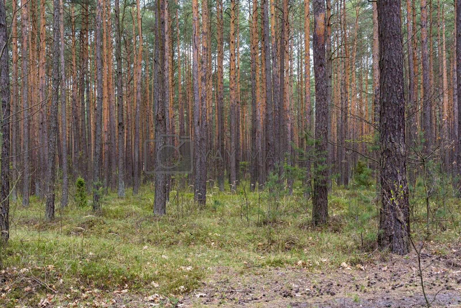 Spring view of pine forest in Poland as natural background