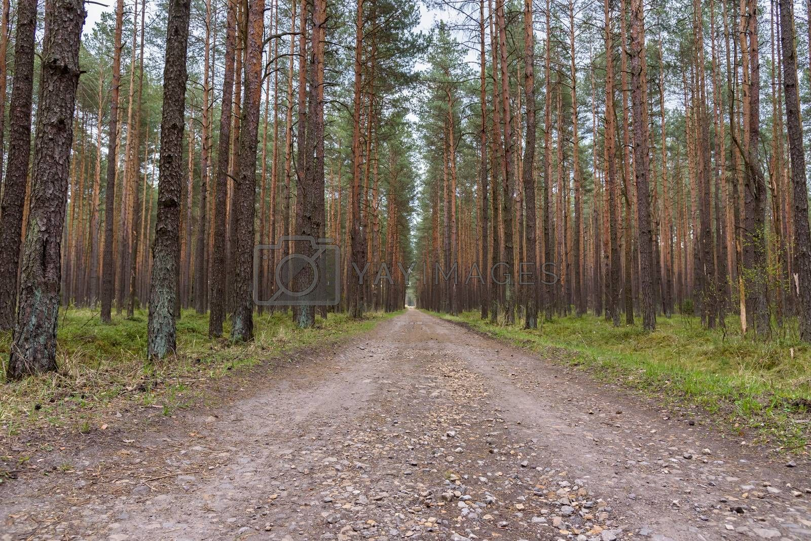 Straight dirt road through pine forest in Poland