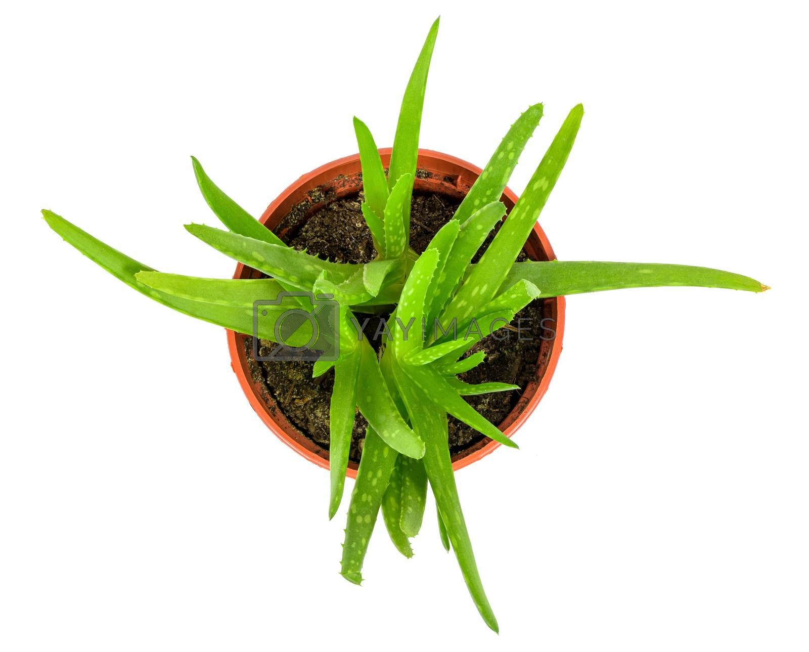 Top view of aloe plant in a pot isolated on white background with clipping path