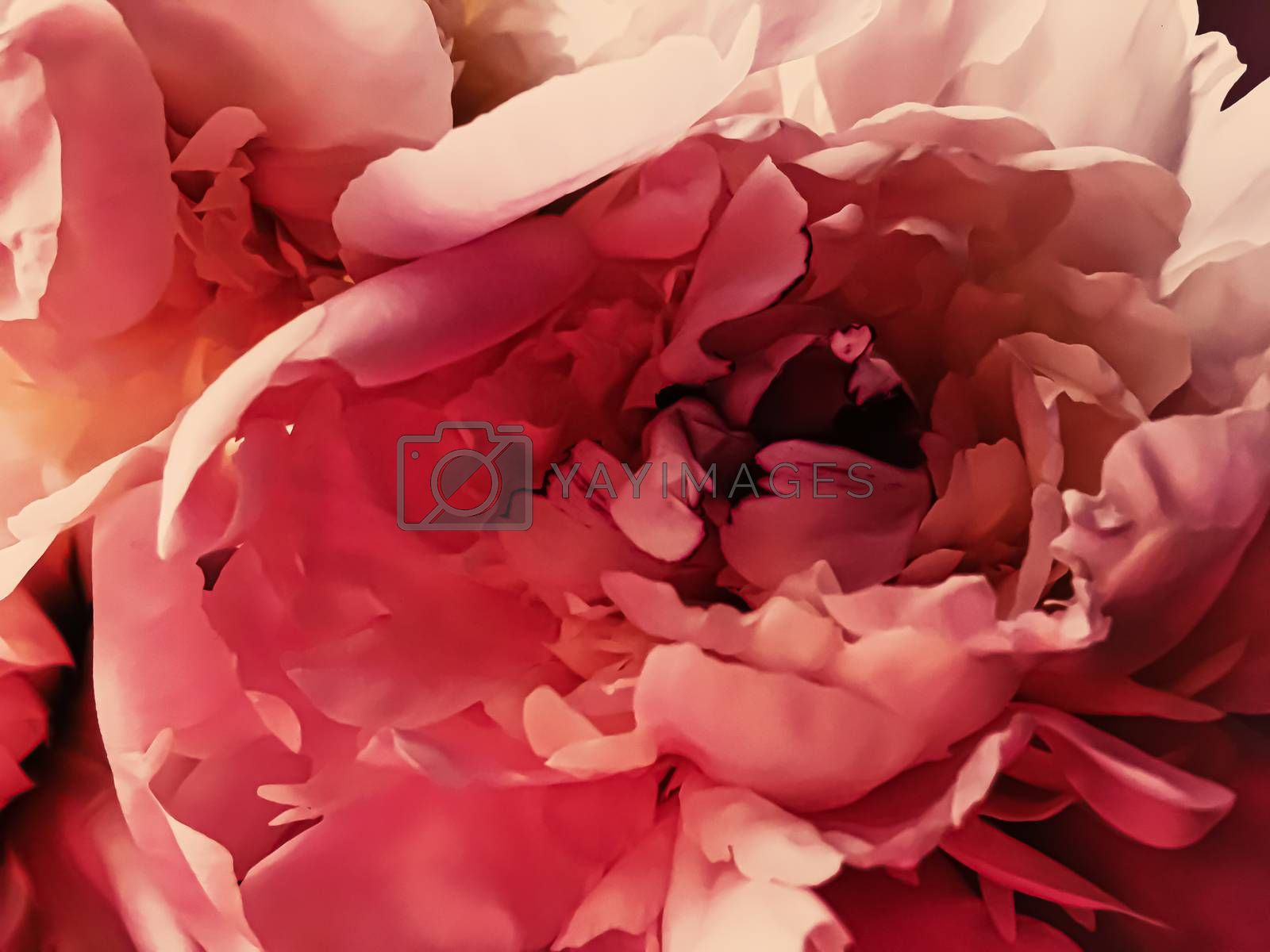 Red peony flower as abstract floral background for holiday branding design