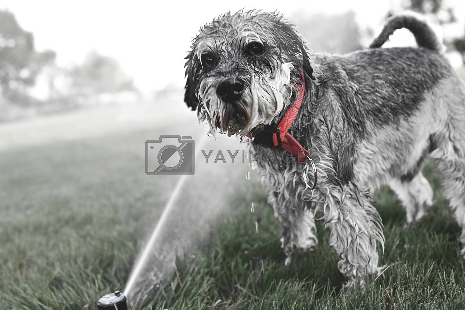 Wet happy pet schnauzer dog puppy playing with water, drinking from sprinkler in a hot day