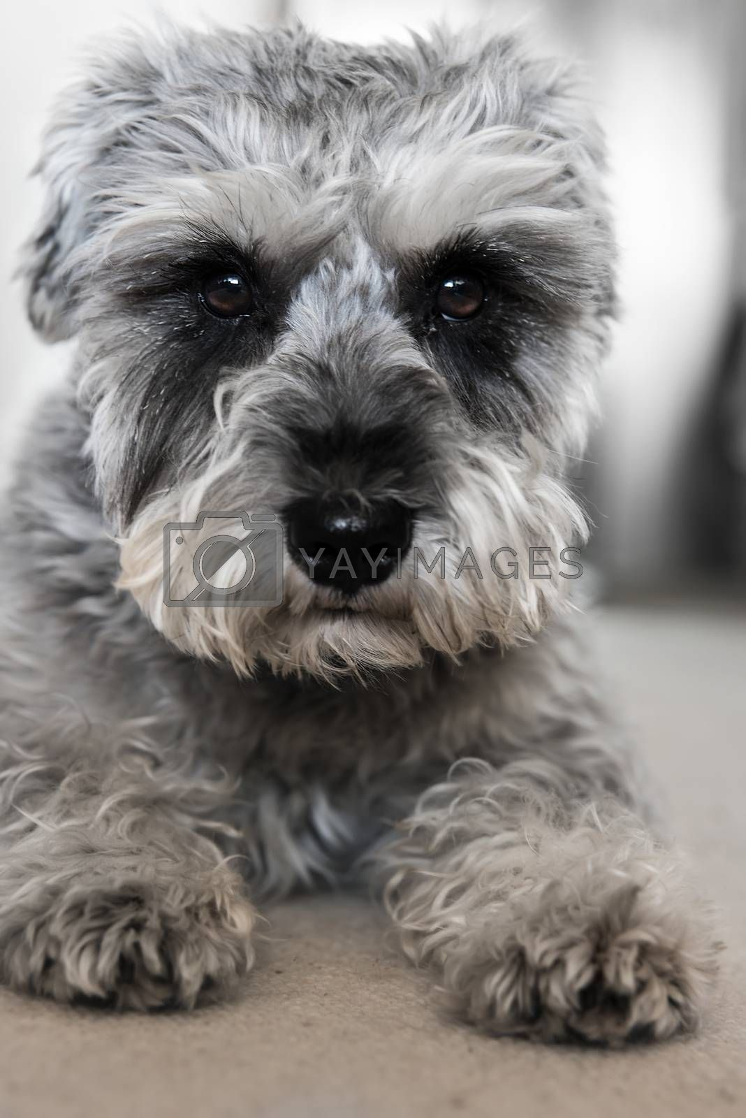 Puppy miniature schnauzer lies on the floor, funny dog