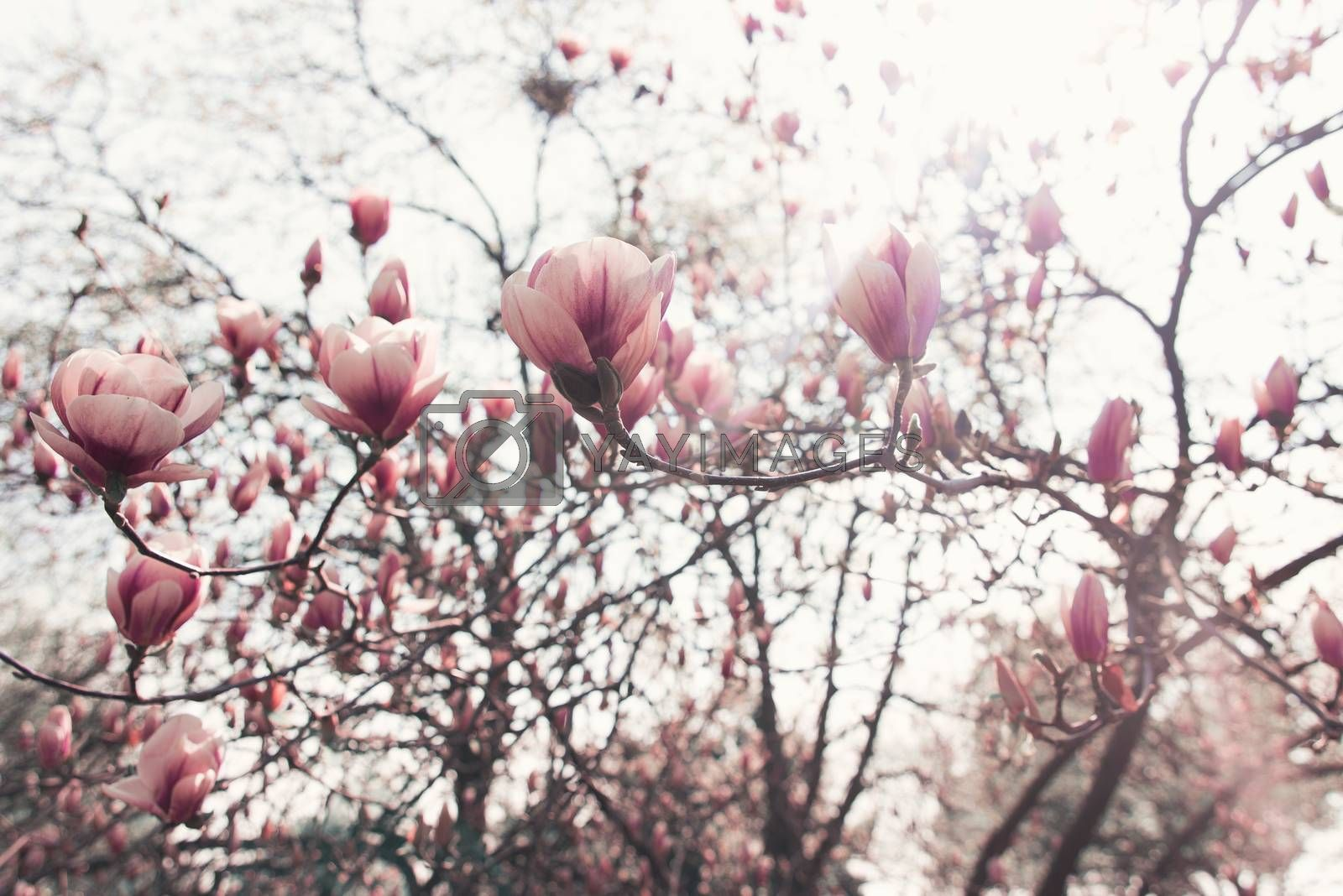 Magnolia trees, Botanical Garden spring atmosphere, good mood