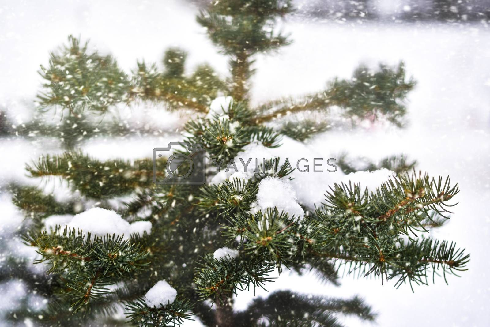 Snowy tree in the park, winter season, cold , christmas