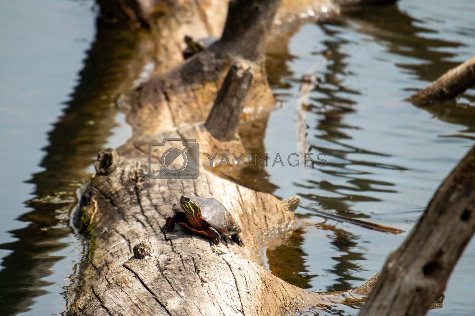 Midland Painted Turtle (Chrysemys picta marginata) Basking on a Log Surrounded by Lily Pads - Pinery Provincial Park, Ontario, Canada